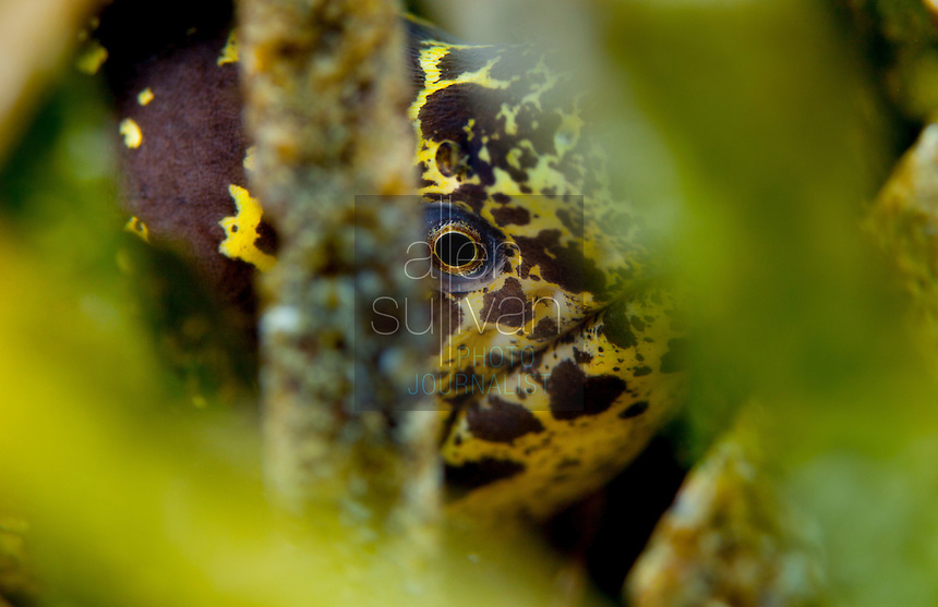 Spotted moray eel, Roatan