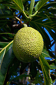 Ulu (breadfruit) growing in Kula, Maui