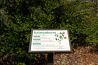 Salmonberry interpretive sign, Native Plant Trail, Maritime Heritage Park, Bellingham, Washington state, USA