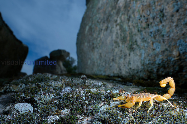 Yellow Scorpion (Butus occitanus), Castilla La Mancha, Spain