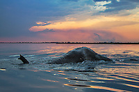 Bull elephant swimming in the Chobe River at dusk