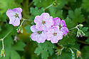Geranium x Riversleaianum 'Mavis Simpson', end June.