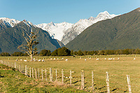 Farming under winter Southern Alps with Fox Glacier in background, Westland Tai Poutini National Park, UNESCO World Heritage Area, West Coast, New Zealand, NZ