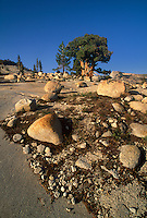 141400018 a magnificent western juniper juniperus occidentalis rises majestically from boulder strewn hillside in the yosemite high country yosemite national park california