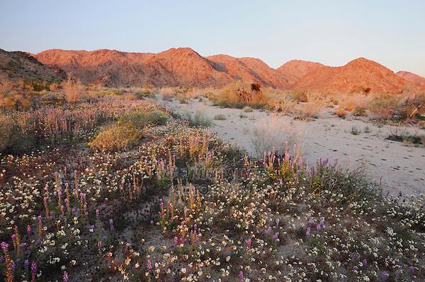 Desert in bloom with Brown-eyed Primrose (Camissonia claviformis), Arizona lupine (Lupinus arizonicus), Joshua Tree National Park, California, USA