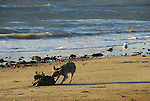 coyote eating dead seal on beach at Ano Nuevo State Reserve