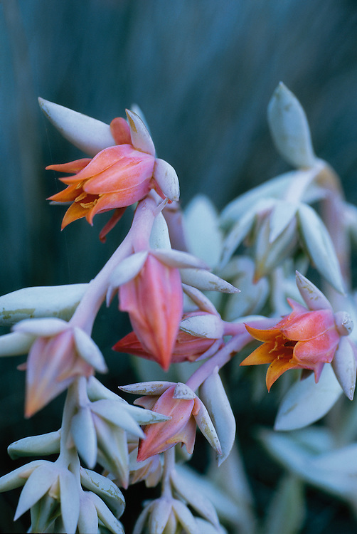 Soft, dreamy close-up of orange flowers and blue-green leaves of Echeveria runyonii in Stanley Park, Vancouver, BC
