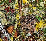 A Western Toad hides among a mosaic of of lichen and moss in Oregon, United States.