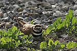 Killdeer on nest in Half Moon Bay