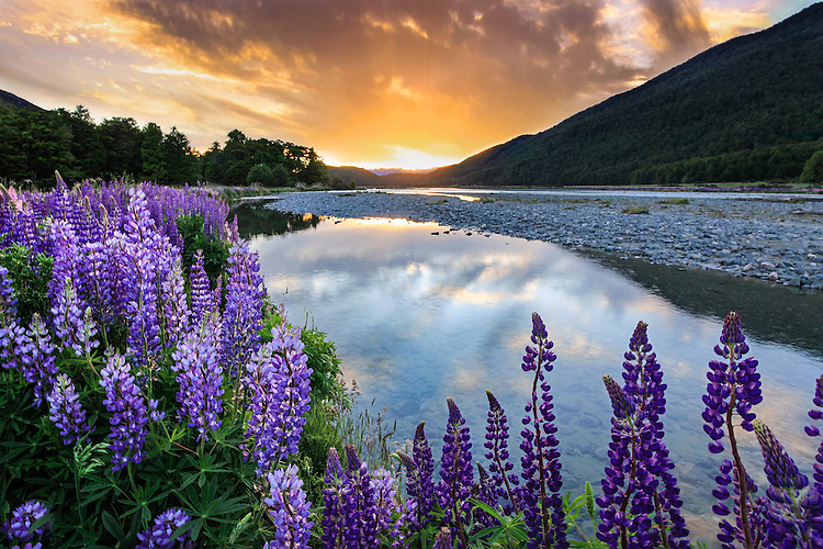 Large field of purple lupins beside Eglinton River, Fiordland New Zealand on the Milford Sound Road. Sunset