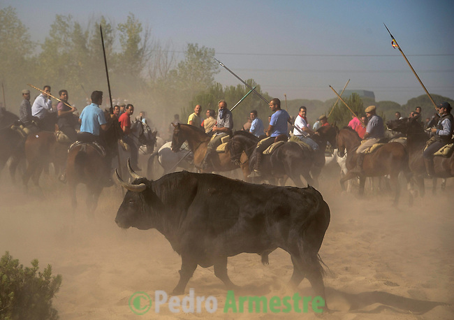Men hold spears while riding horses behind the bull during the 'Toro de la Vega' festival, on September 11, 20112 in Tordesillas. The festival is one of the oldest in Spain with roots dating back to the fifteenth century. The bull has to be enticed across the river from the village to the plain 'Vega' before it can be killed to honour the 'Virgen de la Pena'. (c) Pedro ARMESTRE