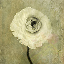 Ronucoulous flower. Photo based illustration.