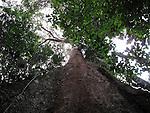A giant Kapok tree in the Amazon Basin outside of Puerto Maldonado, Peru