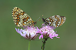 Heath Fritillary Butterfly, Mellicta athalia, pair resting on pink flower, side view of wings, orange and brown colours, Provence.France....