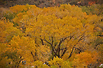 Fall color inside Zion National Park in Southwestern Utah.