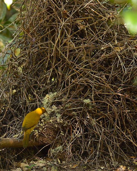 Arranging the Bower,<br /> Golden Bower Bird,<br /> Wet Tropics WHA<br /> FNQ
