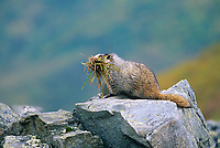 Hoary marmot with a mouth full of grass for its nest, Denali National Park, Alaska