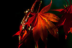 Red Japanese Maple leaves and leaves on bench, fine art, environmental, nature, ecology, ecosystem, environmentalism,    ©2013. Jim Bryant Photo. ALL RIGHTS RESERVED.
