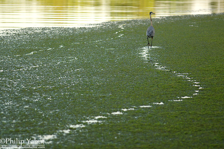 A great blue heron walks through a marsh on the Potomac River.