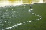 A great blue heron walks through a marsh on the Potomac River.