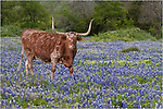 One of my favorites - a Texas Longhorn looks warily at me while standing in a field of Texas Bluebonnets. Taken in the Texas Hill Country.