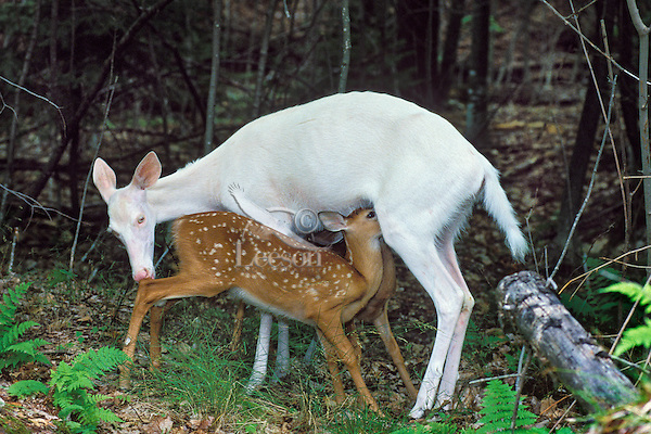 Albino White-tailed Deer doe nursing normal colored fawns.  Michigan.  Summer.