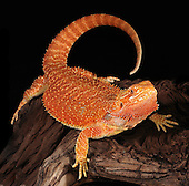 Bearded Dragon (Pogona vitticeps). Captive.