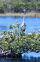 Blue Heron, Merrit island, FL.  (Photo by Brian Cleary/www.bcpix.com)