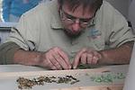Preparing butterfly chrysalis
