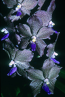 Vanda Mem. Lyle Swanson 'Justin Grinnell', AM/AOS, awarded orchid hybrid cultivar between Vanda Kasem Delight x Vanda tessellata, unusual brown gray orchid with blue purple lip, against black background