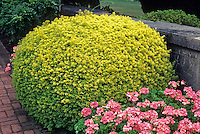 Taxus baccata stricta aurea-Golden Yew with Geraniums