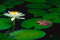 Little garden pool with Rana bullfrog sitting peacefully on a lily pad watching the enormous white blooming flower