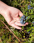 Woman hold bunch of wild blueberries while picking in the Superior National Forest along the Gunflint trail in northern Minnesota