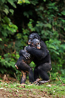 Bonobo juveniles hugging each other in play (Pan paniscus), Lola Ya Bonobo Sanctuary, Democratic Republic of Congo.