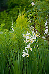 A vignette of white iris blooms in the Sissinghurst-style white garden behind the farmhouse on this property about one hour north of Seattle in the Skagit Valley. Garden design by Toni Christianson, Christianson's Nursery