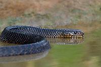 438950052 a wild adult texas indigo snake drymarchon corais erebennus swims and drinks in a small pond on dos venadas ranch starr county rio grande valley texas united states