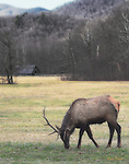 Ortonized image of Bull Elk grazing at Farm Museum
