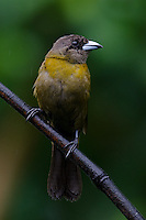 Cherrie's Tanagers (Ramphocelus costaricensis), female.