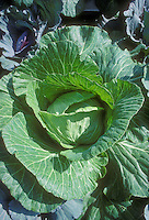 Cabbage vegetables Brassicas head cabbages