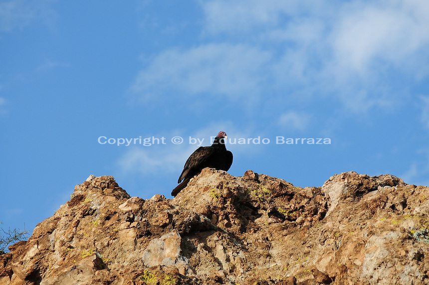 Superior, Arizona (September 21, 2014)  -- A turkey perched on top of a cliff begins to receive the morning sunlight. As September 20 brings the Autumn Equinox, marking the end of the summer, a flock of turkey vultures that make the Boyce Thompson Arboretum in Superior, Arizona their home from March to September each year, are about to begin their annual migration.  Photo by Eduardo Barraza © 2014