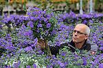 Foto: VidiPhoto<br /> <br /> BEMMEL - Kweker Harry de Beijer aan het werk in zijn 2,5 ha. grote kas in het kassengebied Bergerden in Bemmel. Naast terras en tuinplanten, kweekt De Beijer ook snoepgroenten als aubergines, komkommers, tomaten en pepers in miniformaat.