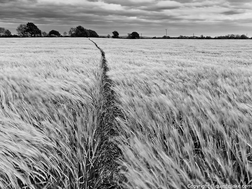 Coast to Coast XIX. Barley field in the Vale of Mowbray.