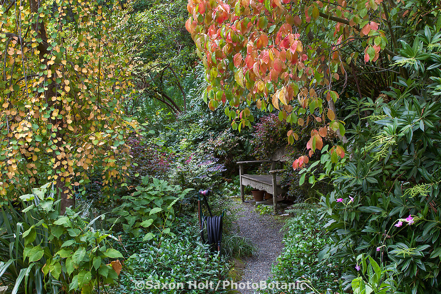 Bench on gravel path in Gay Edelson garden in Lafayette, California with fall color, Weeping Katsura tree (left) and Cornus 'Eddie's White Wonder'