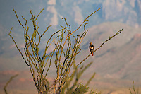 Red-tailed Hawk (Buteo jamaicensis), adult perched in Ocotillo (Fouquieria splendens), Chisos Mountains, Big Bend National Park, Chihuahuan Desert, West Texas, USA