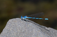 338290022 a wild male aztec dancer argia nahuana perches on a rock along the gila river in cartron county new mexico