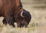 A bull bison grazing in Montana