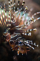 September 8th 2007- Bali, Indonesia- A type of Lionfish reside at a dive site known as Jemeluk Bay, which is located near the Amed area of North East Bali. Photograph by Daniel J. Groshong/Tayo Photo Group