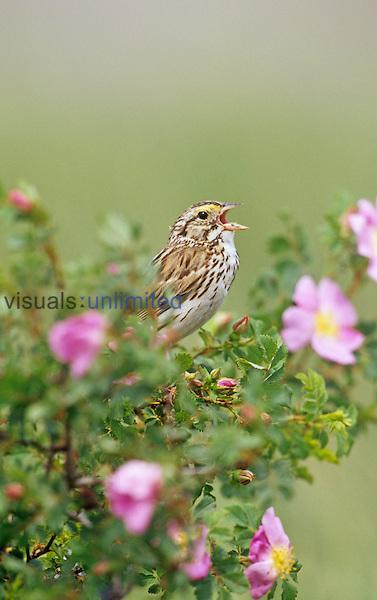 Savannah Sparrow singing (Passerculus sandwichensis), Western USA.