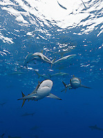 RM0935-D. Silky Sharks (Carcharhinus falciformis), dozens gathered together to feed on small fish in baitball (in background). Baja, Mexico, Pacific Ocean. <br /> Photo Copyright &copy; Brandon Cole. All rights reserved worldwide.  www.brandoncole.com