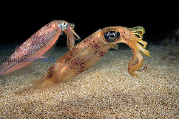 Reef Squids (Sepioteuthis lessoniana), Hawaii, USA.